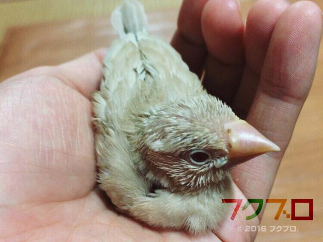 クリーム文鳥 : 雛鳥 (2)