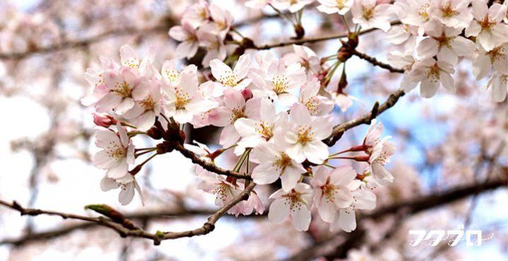 足羽川の桜花見スポット「九十九橋北」から「花月橋」の道沿い