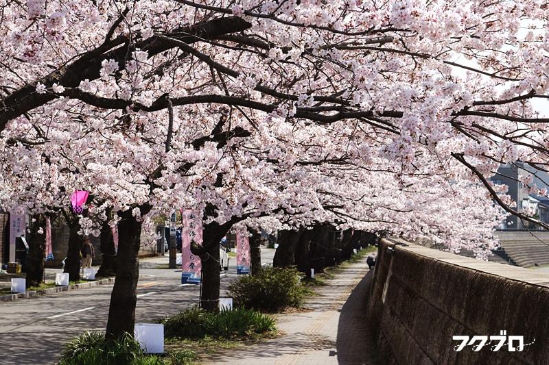足羽川の桜花見スポット「九十九橋北」から「花月橋」の道沿い(2)