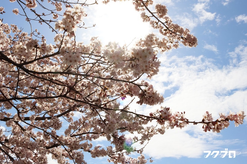 足羽川の桜花見スポット「九十九橋北」から「花月橋」の道沿い(5)