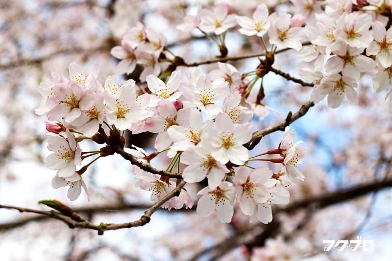 足羽川の桜花見スポット「九十九橋北」から「花月橋」の道沿い(8)