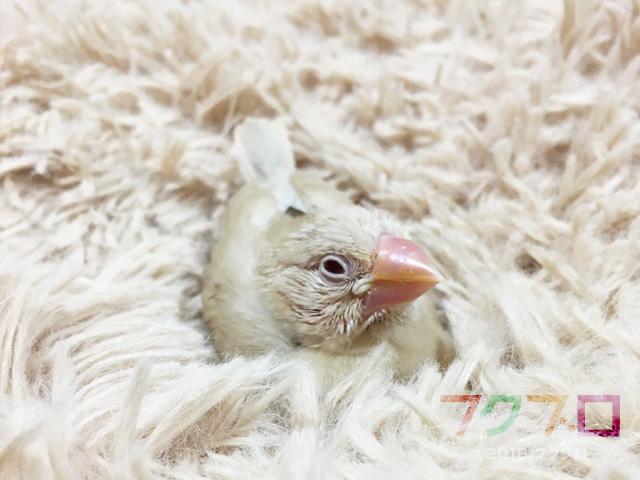 クリーム文鳥 : 雛鳥 (1)