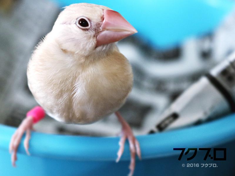 クリーム文鳥 (1)