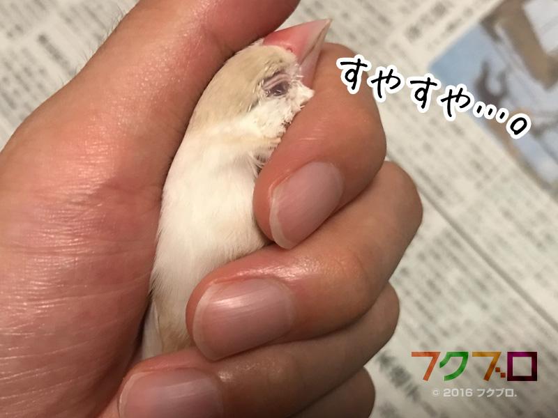 クリーム文鳥 (2)