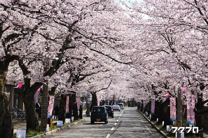 足羽川の桜花見スポット「九十九橋北」から「花月橋」の道沿い(1)