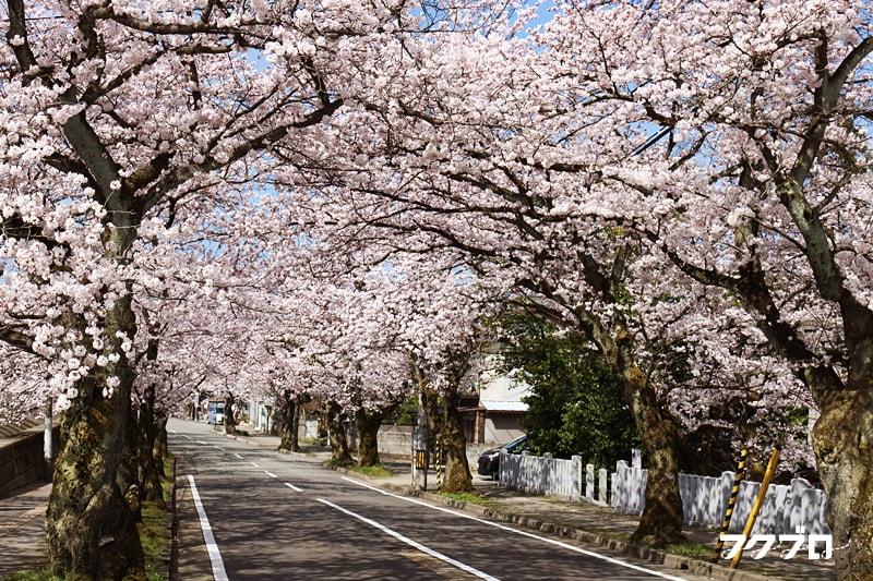 足羽川の桜花見スポット「九十九橋北」から「花月橋」の道沿い(3)