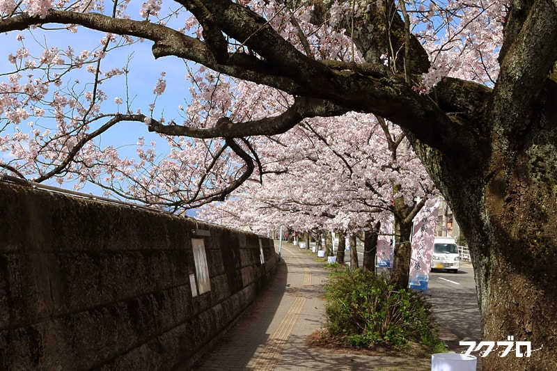 足羽川の桜花見スポット「九十九橋北」から「花月橋」の道沿い(4)