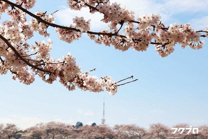 足羽川の桜花見スポット「九十九橋北」から「花月橋」の道沿い(6)