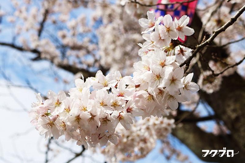 足羽川の桜花見スポット「九十九橋北」から「花月橋」の道沿い(7)